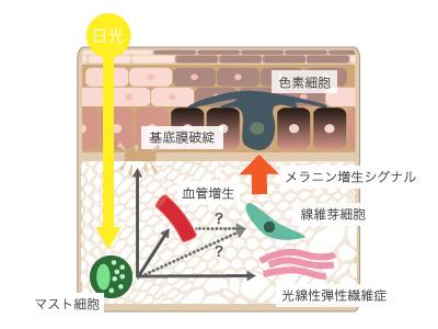 肝斑の発生機序