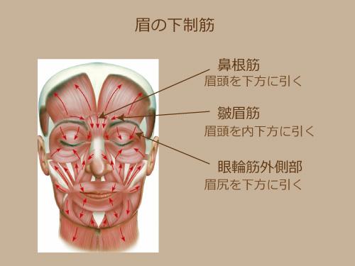 眉の下制筋