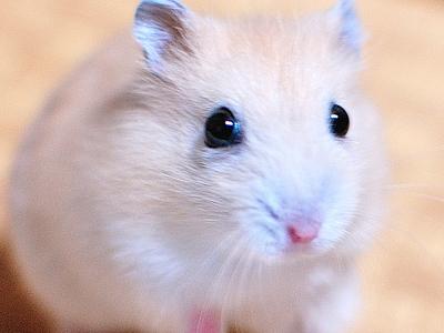 実験マウス